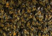 ? olony včel