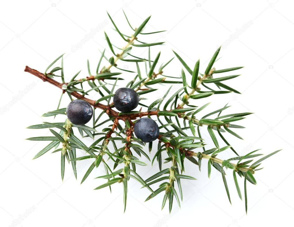 Juniper twig with berries