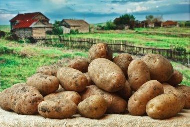 bunch of potatoes on the background of rural areas