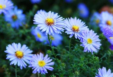 blue aster wildflowers in a field