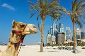 Fotografie velbloud na pozadí městské budovy dubai