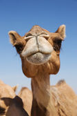 Photo Head of a camel