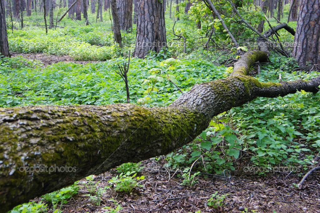 https://st.depositphotos.com/1000143/4166/i/950/depositphotos_41669085-stock-photo-fallen-tree-in-spring-forest.jpg