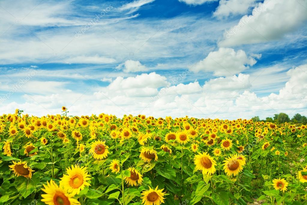 field of sunflovewrs