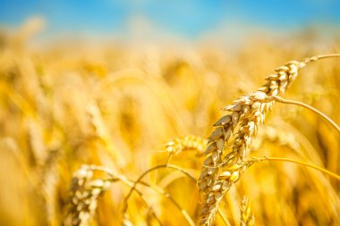 ripe golden wheat