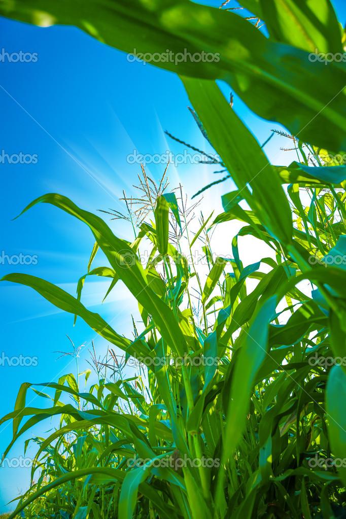 plants of corn close up