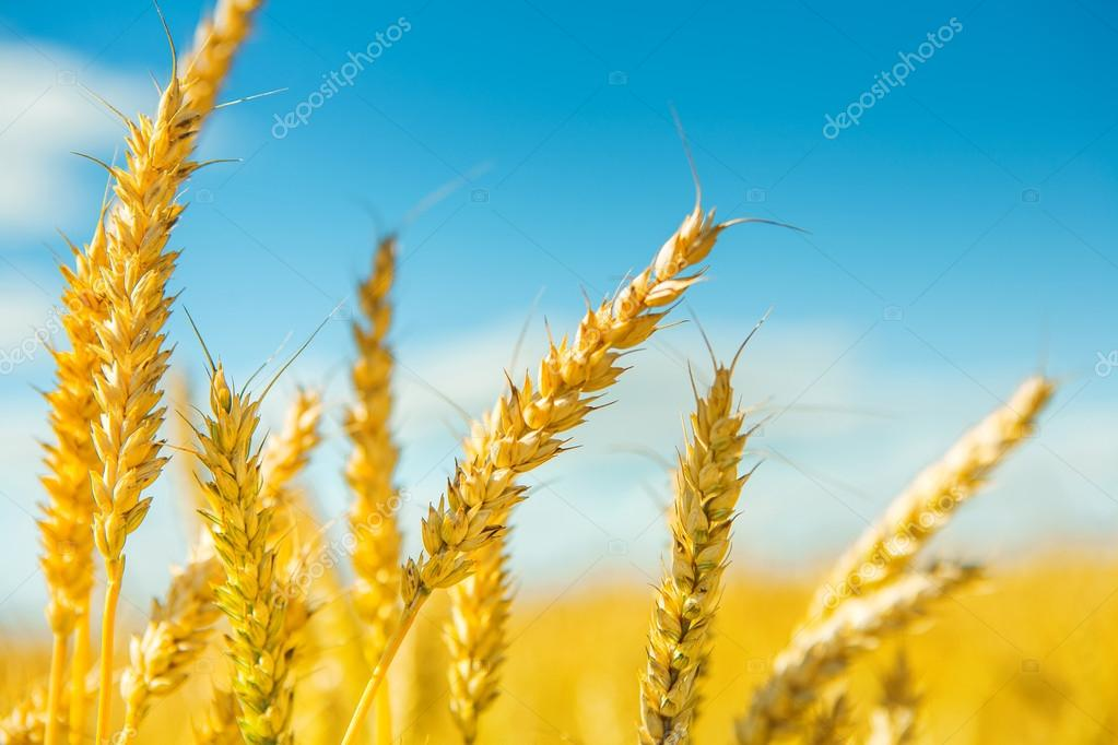 plants of wheat before harvesting