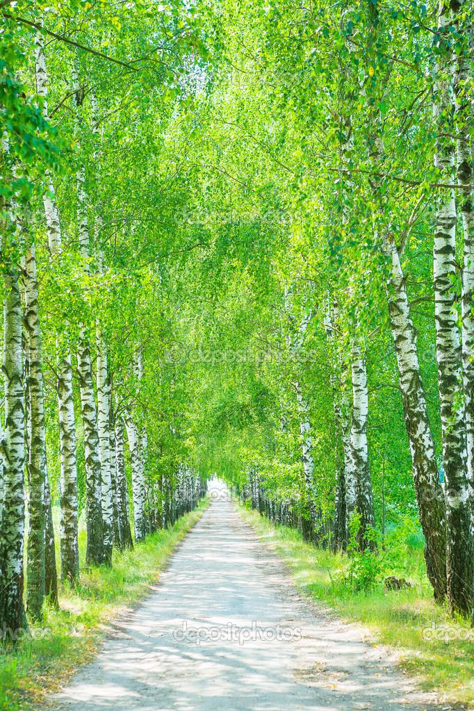 a birch alley