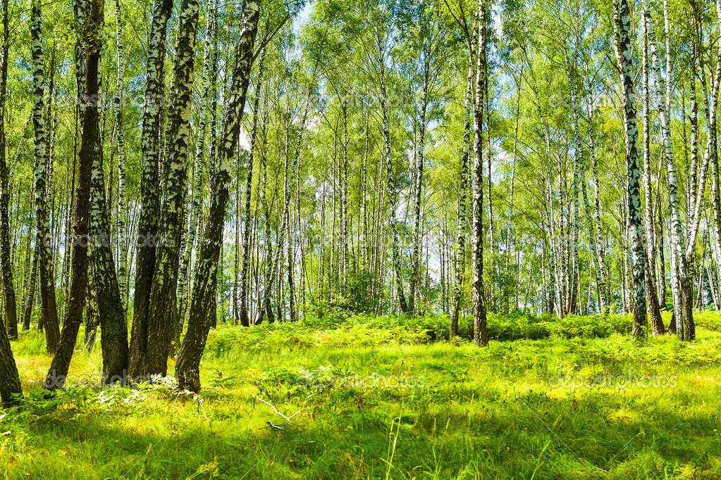 birch forest at summer