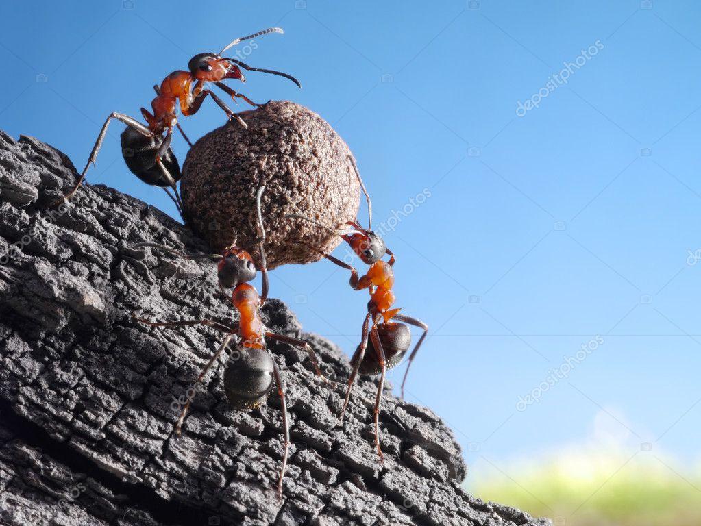 Team of ants rolls stone uphill