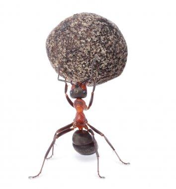 mighty ant holding heavy stone