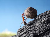 Photo red ant rolls stone uphill