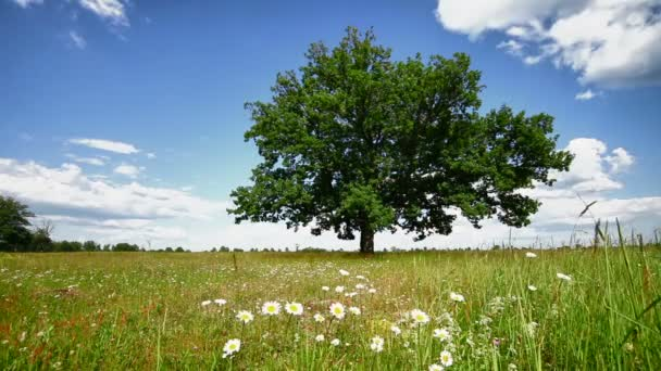 Oak tree on a meadow