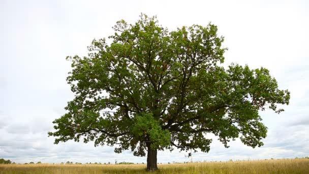 1920x1080 video - One big old oak tree