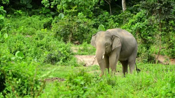 1920 x 1080 video - dospělý slon krmení v lese. Thajsko