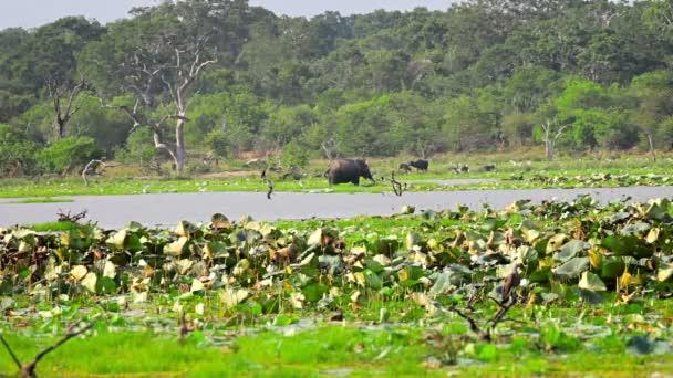 Videó 1920 x 1080 - vadon élő elefántok, madarak, bivaly, a vad. Srí Lanka-i, a safari
