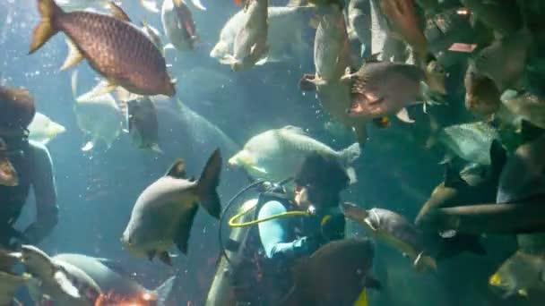 Chiang může, Thajsko - 02 prosinec 2013: Potápěč krmení sladkovodní rejnok ve velkém akváriu v chiang může panda Velká zoo