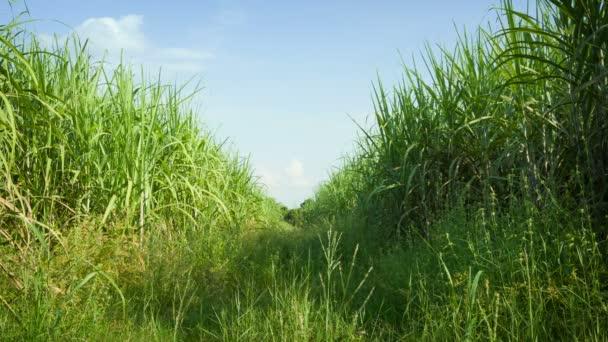 videóinak 1920 x 1080 - cukornád területen. Thaiföld