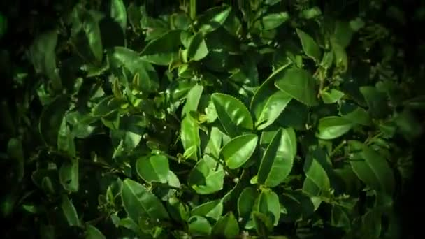 Video 1920x1080 - Green tea leaves on the bushes close up