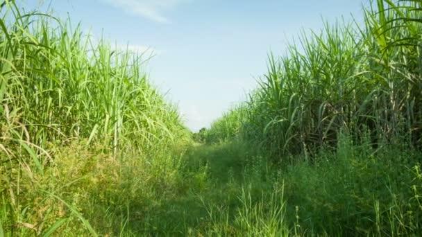 videóinak 1920 x 1080 - cukornád-mezőket. Thaiföld, sukhothai