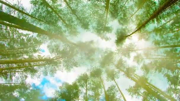 Video 1080p - Tops of tall pine trees in the forest. Looking up to the canopy