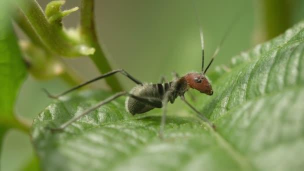 Video 1920 x 1080 - kobylka je velmi podobné nebezpečné mravenec. mimikry v přírodě z Thajska