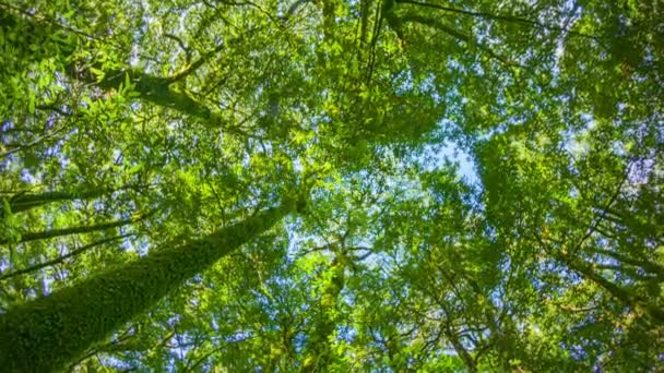 Video 1080p - Tropical rainforest. Tops of the trees. Looking up to the canopy & Video 1080p - Tropical rainforest. Tops of the trees. Looking up ...