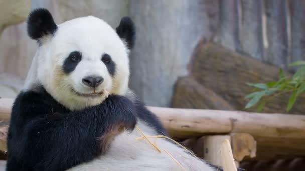 Video 1080p - Funny panda eating bamboo