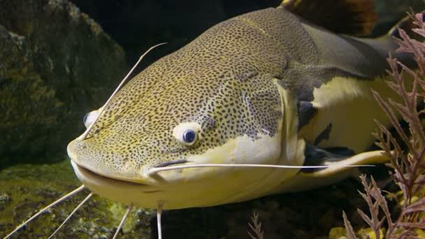 Catfish Habitat | Catfish Clarias Clarius Marble In Their Natural Habitat Clarias
