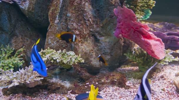 Video 1080p - Colorful tropical fish in aquarium