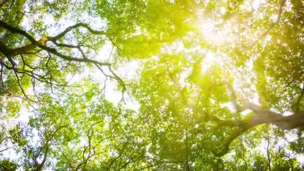 dei 1080p-corone di alberi con sole pomeridiano e raggi