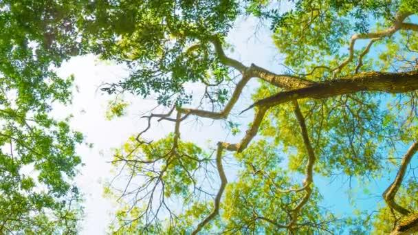 videa 1080p-korunách vysokých stromů na pozadí světlé oblohy