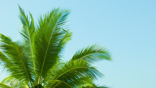 Video 1080p - Top of the palm tree on blue sky background