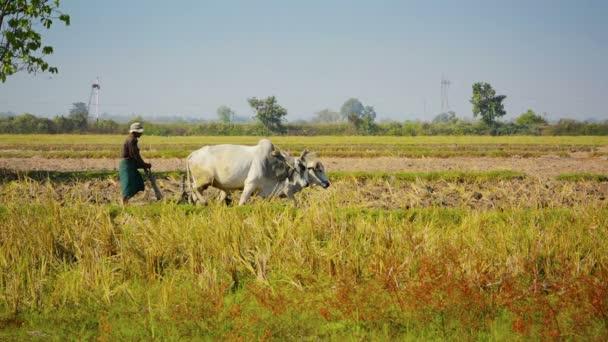 území Unie Neipyijtu, Barma - cca ledna 2013: farmář orat pole se dvě krávy