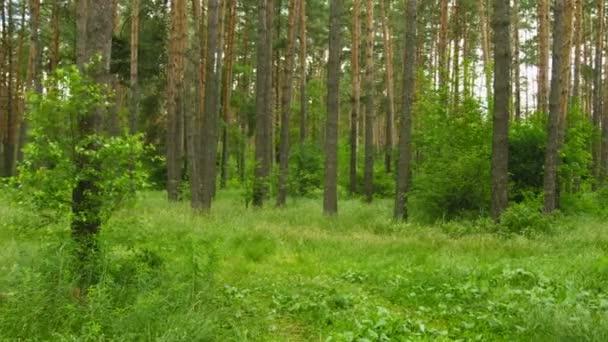 videa 1080p - den chůze borovým lesem