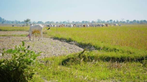video 1080p - krávy se pasou na polích strniště. Barma