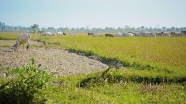 video 1080p - krávy se pasou na polích strniště. Myanmar