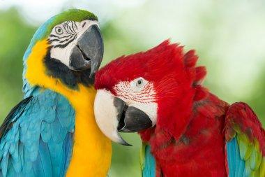 Macaws parrots