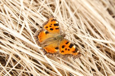 Butterfly on hay