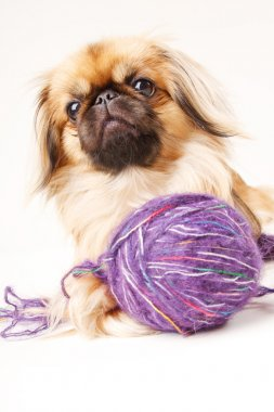 Pekingese dog a white background with space for text