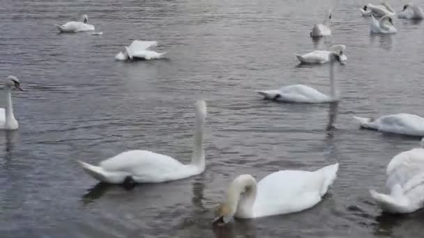Labutí jednotvárněji krmení na řece