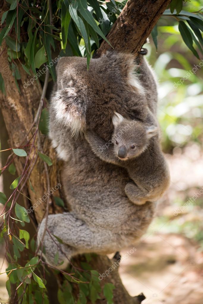 Koala with baby climbing on a tree