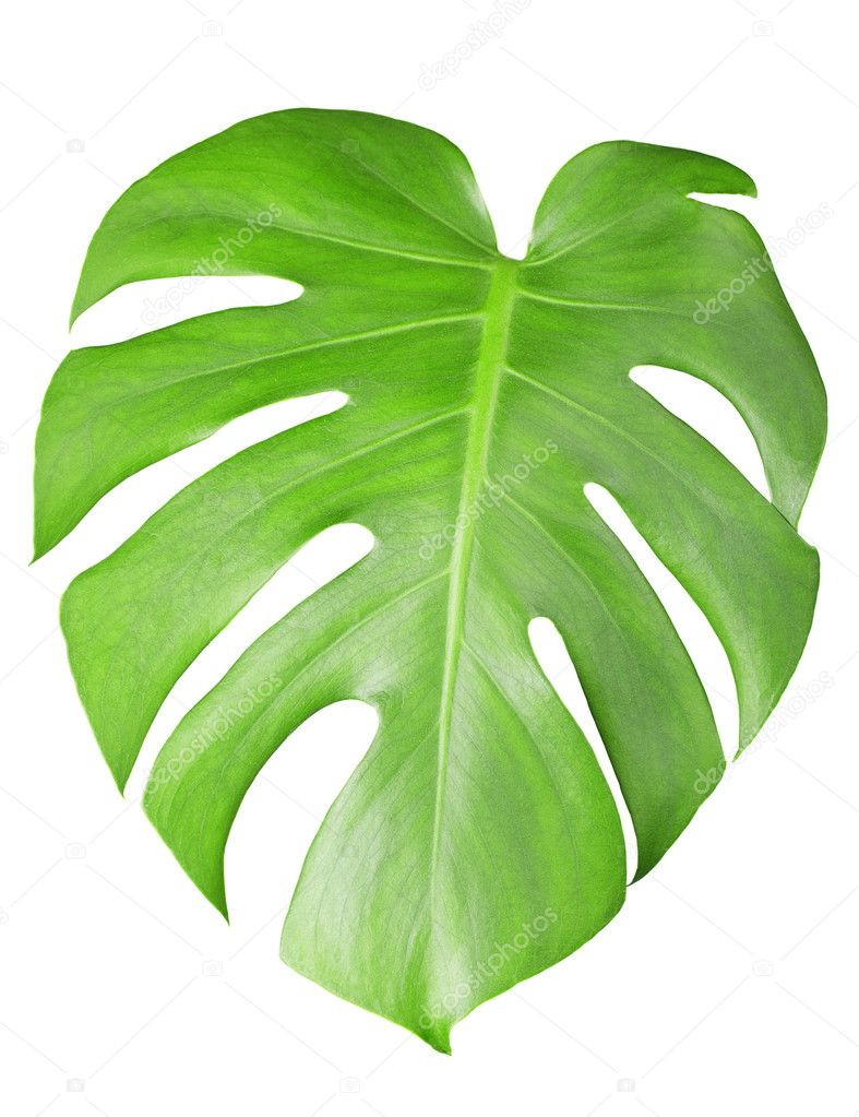 Big green leaf of Monstera plant with water drops isolated on white