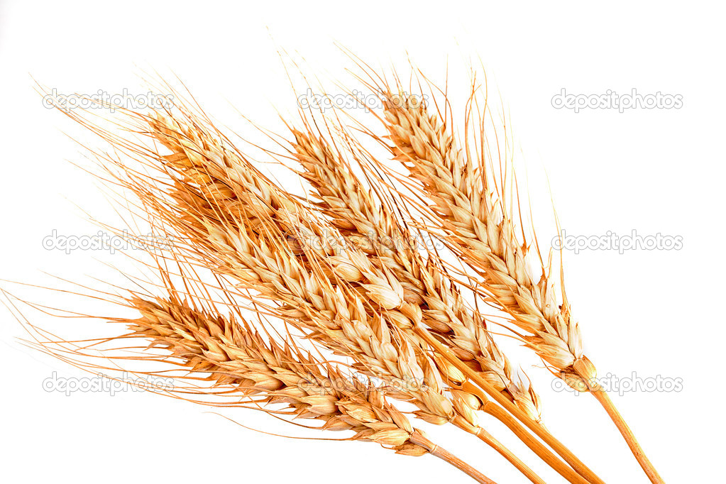 Wheat cones isolated on white background