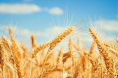 Fotografie Gold wheat field
