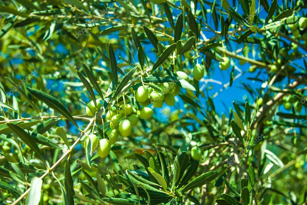 Olive trees at Greece country side