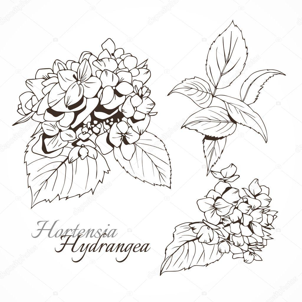 Hydrangea ink ullustration