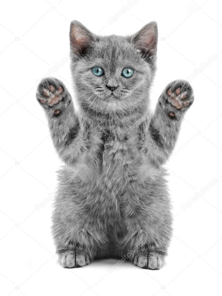 Scottish Kitty