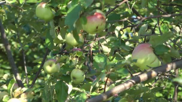 jablka.