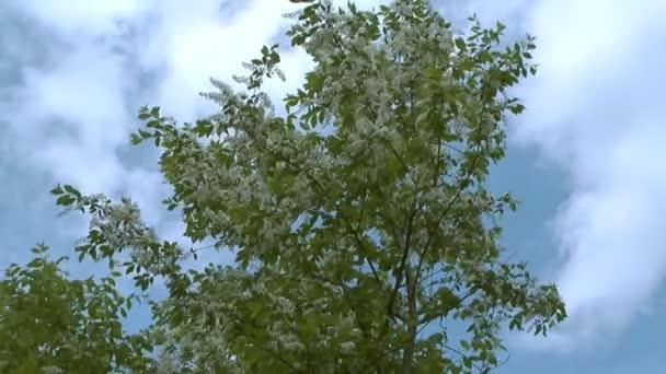 a madár-cseresznye